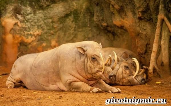 Бабирусса-животное-Образ-жизни-и-среда-обитания-бабирусса-1