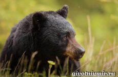 Барибал медведь. Образ жизни и среда обитания медведя барибала
