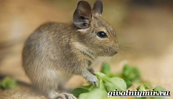 Белка-дегу-Образ-жизни-и-среда-обитания-белки-дегу-1