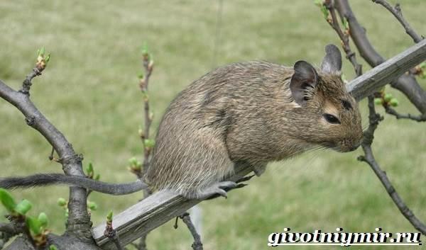 Белка-дегу-Образ-жизни-и-среда-обитания-белки-дегу-6