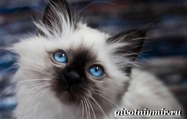 Бирманская-кошка-Описание-особенности-цена-и-уход-за-бирманской-кошкой-1