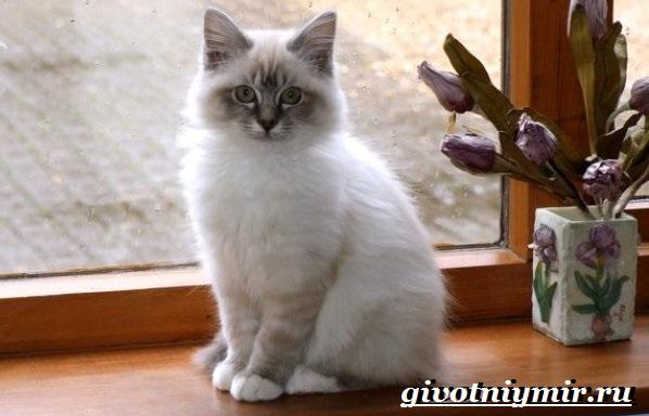 Бирманская-кошка-Описание-особенности-цена-и-уход-за-бирманской-кошкой-10