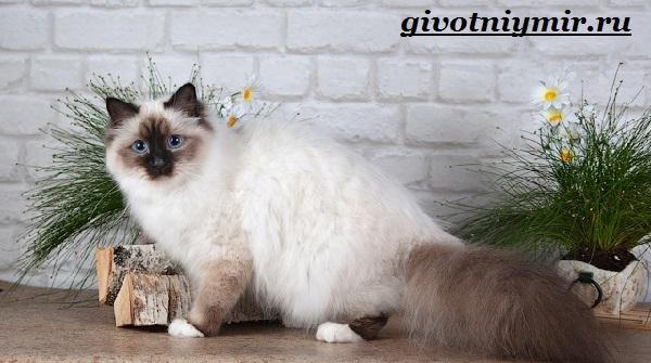 Бирманская-кошка-Описание-особенности-цена-и-уход-за-бирманской-кошкой-11