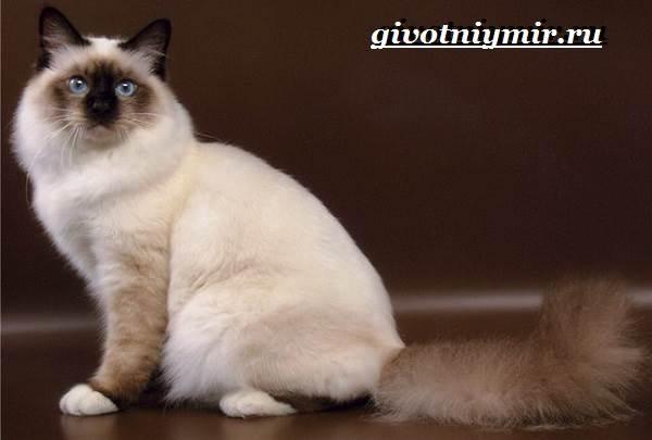Бирманская-кошка-Описание-особенности-цена-и-уход-за-бирманской-кошкой-2