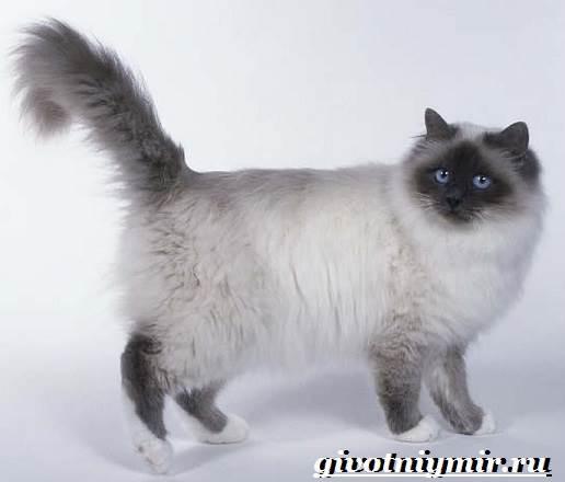 Бирманская-кошка-Описание-особенности-цена-и-уход-за-бирманской-кошкой-3