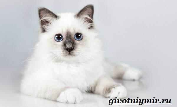 Бирманская-кошка-Описание-особенности-цена-и-уход-за-бирманской-кошкой-4