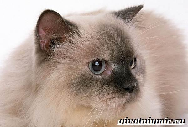 Бирманская-кошка-Описание-особенности-цена-и-уход-за-бирманской-кошкой-7