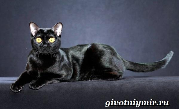 Бомбейская-кошка-Описание-особенности-цена-и-уход-за-бомбейской-кошкой-1