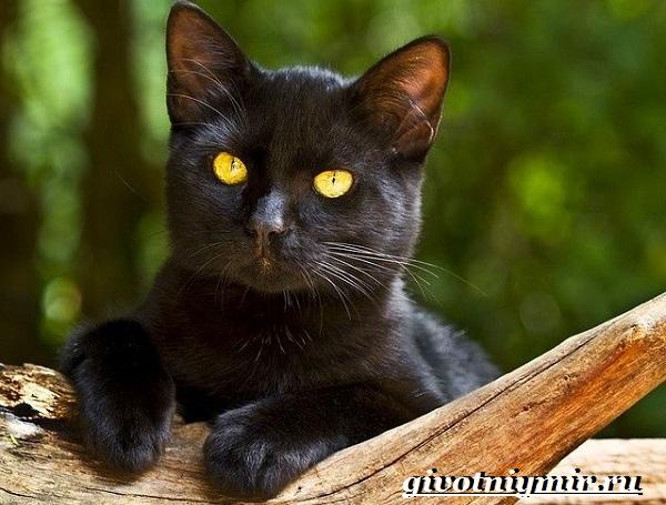 Бомбейская-кошка-Описание-особенности-цена-и-уход-за-бомбейской-кошкой-10