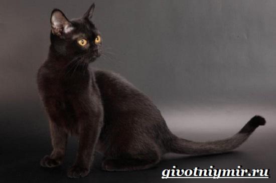 Бомбейская-кошка-Описание-особенности-цена-и-уход-за-бомбейской-кошкой-2