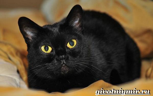 Бомбейская-кошка-Описание-особенности-цена-и-уход-за-бомбейской-кошкой-5