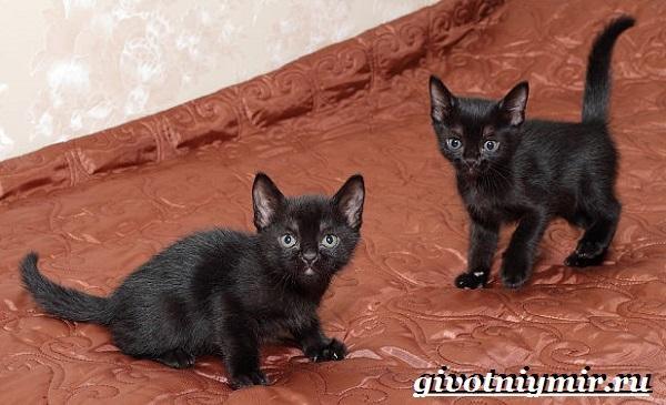 Бомбейская-кошка-Описание-особенности-цена-и-уход-за-бомбейской-кошкой-6
