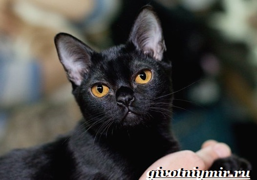 Бомбейская-кошка-Описание-особенности-цена-и-уход-за-бомбейской-кошкой-7