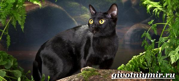 Бомбейская-кошка-Описание-особенности-цена-и-уход-за-бомбейской-кошкой-9