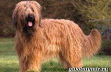 Бриар порода собак. Особенности, цена, уход и отзывы о бриаре