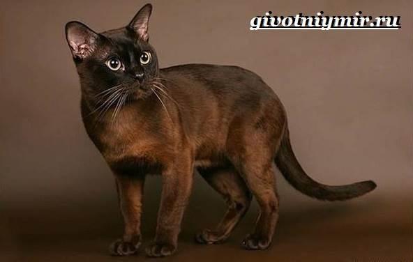 Бурманская-кошка-Описание-особенности-цена-и-уход-за-бурманской-кошкой-1