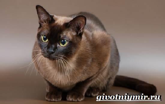 Бурманская-кошка-Описание-особенности-цена-и-уход-за-бурманской-кошкой-2