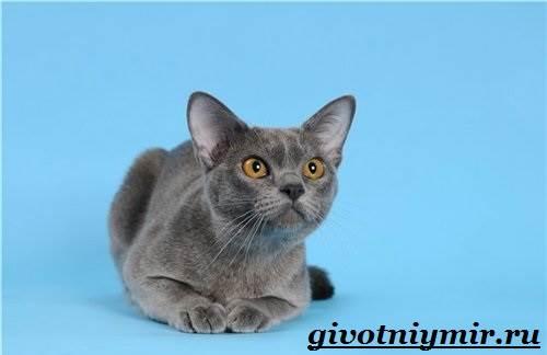Бурманская-кошка-Описание-особенности-цена-и-уход-за-бурманской-кошкой-3