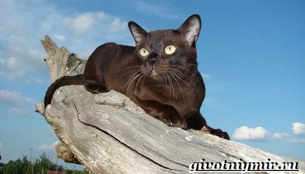 Бурманская-кошка-Описание-особенности-цена-и-уход-за-бурманской-кошкой-4