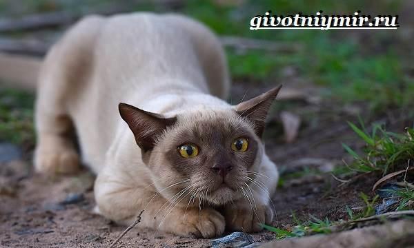 Бурманская-кошка-Описание-особенности-цена-и-уход-за-бурманской-кошкой-5