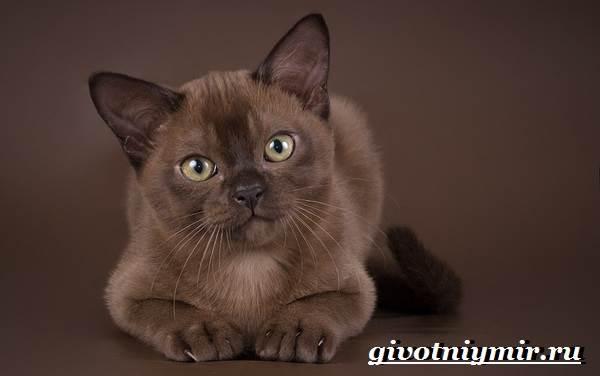 Бурманская-кошка-Описание-особенности-цена-и-уход-за-бурманской-кошкой-6