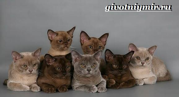 Бурманская-кошка-Описание-особенности-цена-и-уход-за-бурманской-кошкой-7
