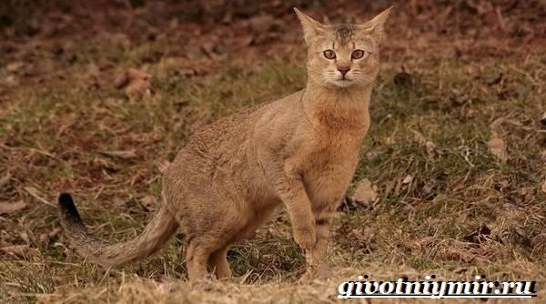 Чаузи-кошка-Особенности-цена-и-уход-за-породой-чаузи-1