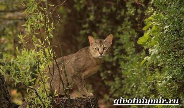 Чаузи-кошка-Особенности-цена-и-уход-за-породой-чаузи-3