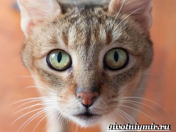 Чаузи-кошка-Особенности-цена-и-уход-за-породой-чаузи-4