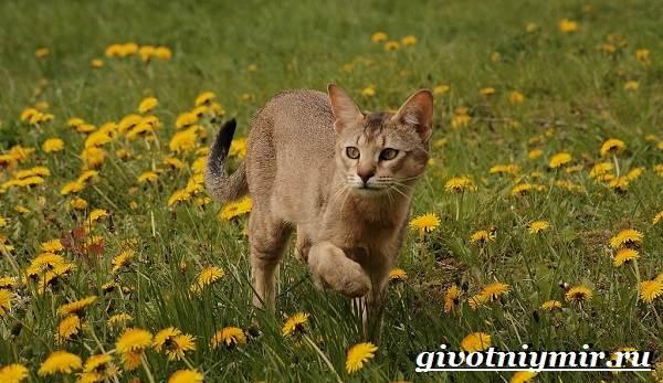 Чаузи-кошка-Особенности-цена-и-уход-за-породой-чаузи-5