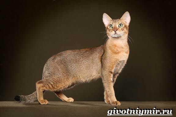 Чаузи-кошка-Особенности-цена-и-уход-за-породой-чаузи-6