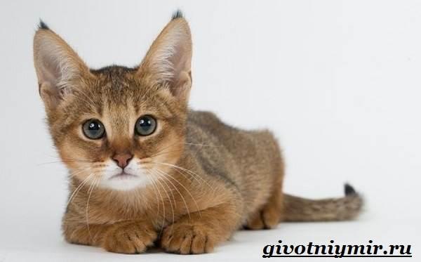 Чаузи-кошка-Особенности-цена-и-уход-за-породой-чаузи-7