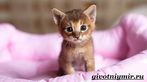 Чаузи-кошка-Особенности-цена-и-уход-за-породой-чаузи-8