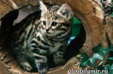 Черноногая кошка. Образ жизни и среда обитания черноногой кошки
