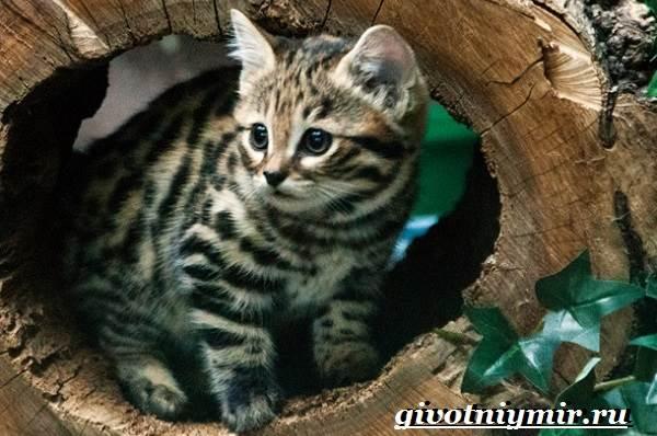 Черноногая кошка описание породы