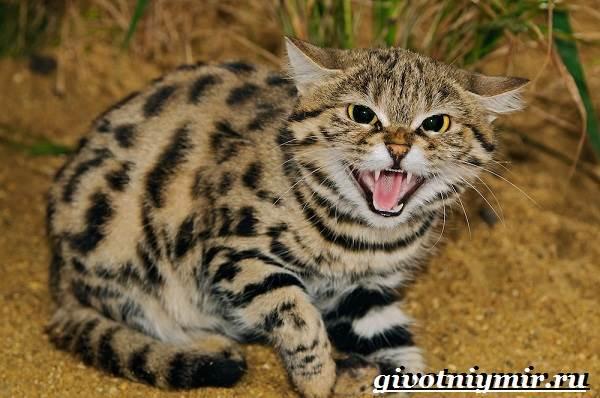 Черноногая-кошка-Образ-жизни-и-среда-обитания-черноногой-кошки-3