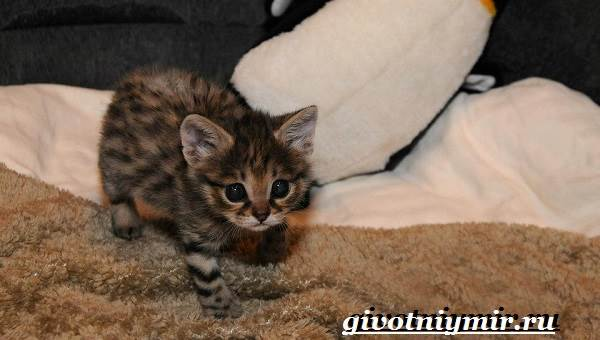 Черноногая-кошка-Образ-жизни-и-среда-обитания-черноногой-кошки-5
