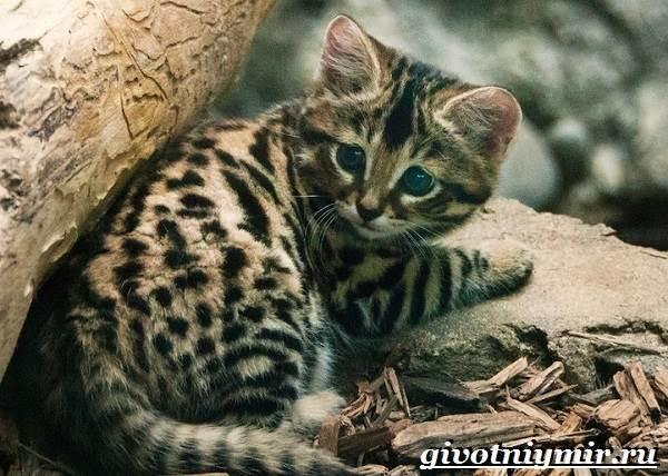 Черноногая-кошка-Образ-жизни-и-среда-обитания-черноногой-кошки-6