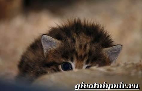 Черноногая-кошка-Образ-жизни-и-среда-обитания-черноногой-кошки-9
