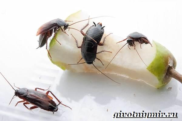 Черный-таракан-насекомое-Образ-жизни-и-среда-обитания-чёрного-таракана-1