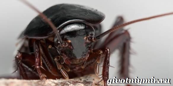 Черный-таракан-насекомое-Образ-жизни-и-среда-обитания-чёрного-таракана-2