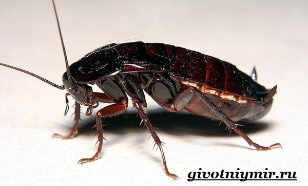Внутреннее строение черного таракана