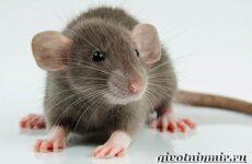 Дамбо крыса. Образ жизни и среда обитания крысы дамбо