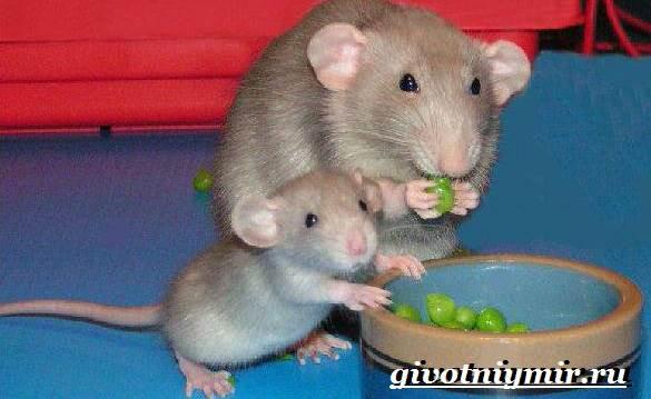 Дамбо-крыса-Образ-жизни-и-среда-обитания-крысы-дамбо-10