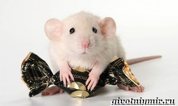 Дамбо-крыса-Образ-жизни-и-среда-обитания-крысы-дамбо-2