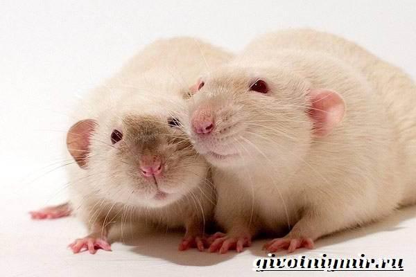 Дамбо-крыса-Образ-жизни-и-среда-обитания-крысы-дамбо-3