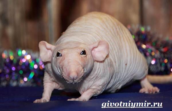 Дамбо-крыса-Образ-жизни-и-среда-обитания-крысы-дамбо-4