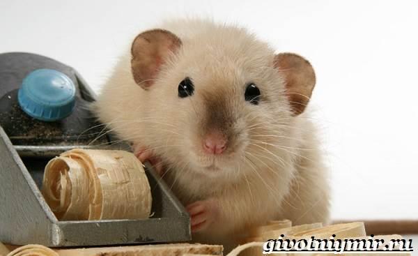 Дамбо-крыса-Образ-жизни-и-среда-обитания-крысы-дамбо-5