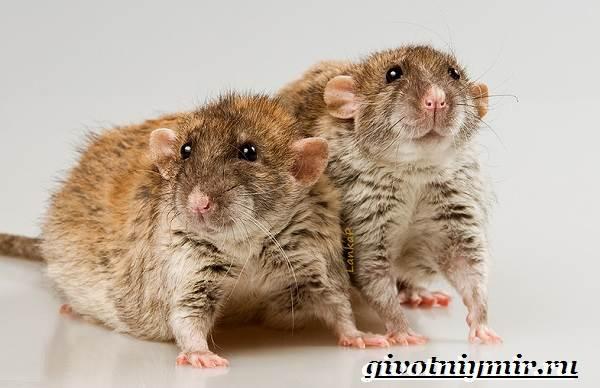 Дамбо-крыса-Образ-жизни-и-среда-обитания-крысы-дамбо-6