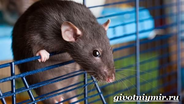 Дамбо-крыса-Образ-жизни-и-среда-обитания-крысы-дамбо-7